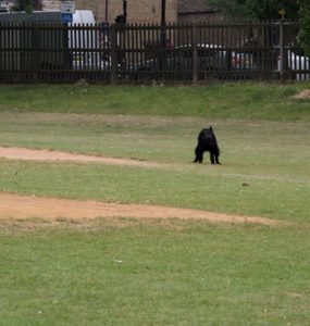 A dog having a poo on first base.