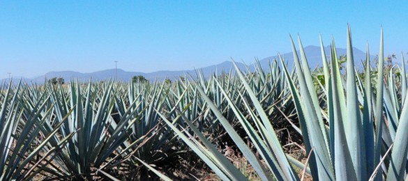 Help Protect The Mezcal Industry